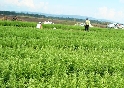 cultivo y cuidado de la stevia