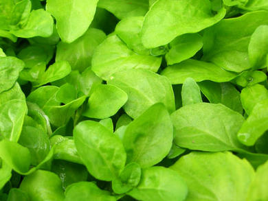 propiedades de las hojas de menta poleo