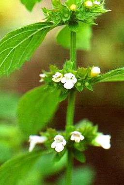 planta y cuidados del toronjil